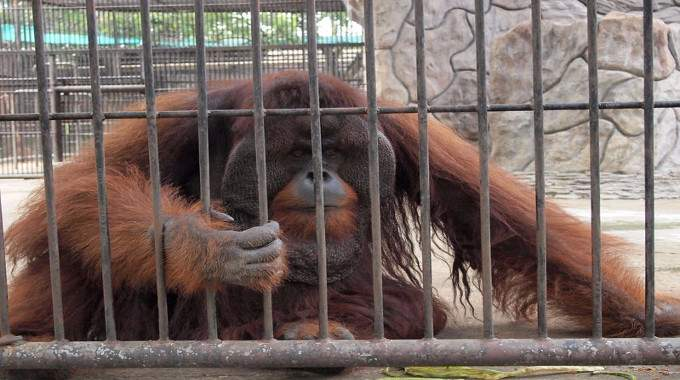 Orangutan in a cage-compressed