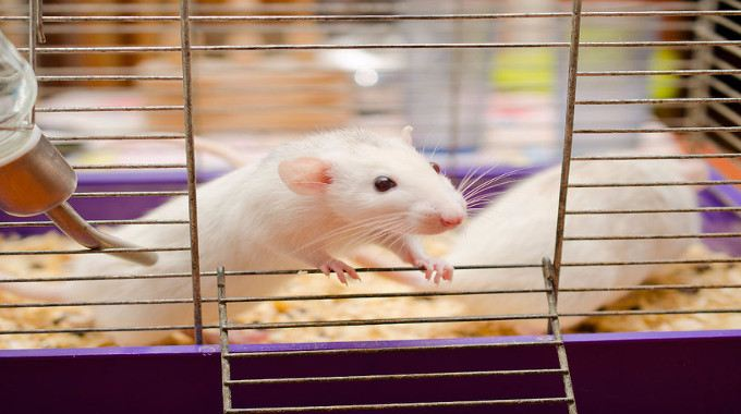 curious-white-rat-in-a-cage-compressed