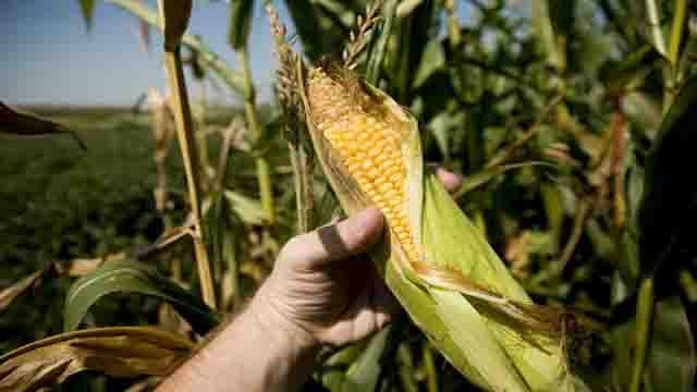 John Robbins: Is the USDA Really Dumb Enough To Approve Agent Orange Corn?
