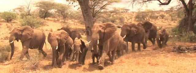"Do Elephants Call ""Human!"" to Alarm Herd Of Approaching Danger?"