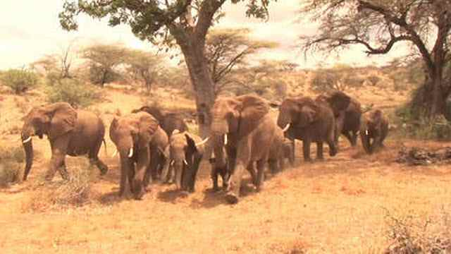 Elephants flee the sound of local people whilst emitting the telltale 'human' alarm call rumble.