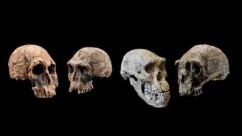 Between 2.1 and 1.8 million years ago, the oldest known species of the human genus, Homo, exhibited diverse traits. These species include the 1470 Group and the 1813 Group, based on the Kenyan fossils KNM-ER 1470 (left) and KNM-ER 1813 (second from left), respectively. By 1.8 to 1.9 million years ago, the species Homo erectus had evolved in Africa and started to spread to Eurasia. Early populations of this long-lived species are represented by the Kenyan fossil KNMER 3733 (right) and the Georgian fossil Dmanisi Skull 5 (second from right). The three lineages -- the 1470 group, the 1813 group, and Homo erectus -- overlapped in time for several hundred thousand years. The Kenyan fossils, from the site of Koobi Fora in the Lake Turkana region of Kenya, are housed in the National Museums of Kenya. Fossils from Dmanisi are housed in the Georgian National Museum. Credit: Kenyan fossil casts – Chip Clark, Smithsonian Human Origins Program; Dmanisi Skull 5 – Guram Bumbiashvili, Georgian National Museum