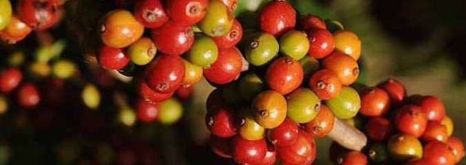 How Caffeine Evolved to Help Plants Survive and Help People Wake Up