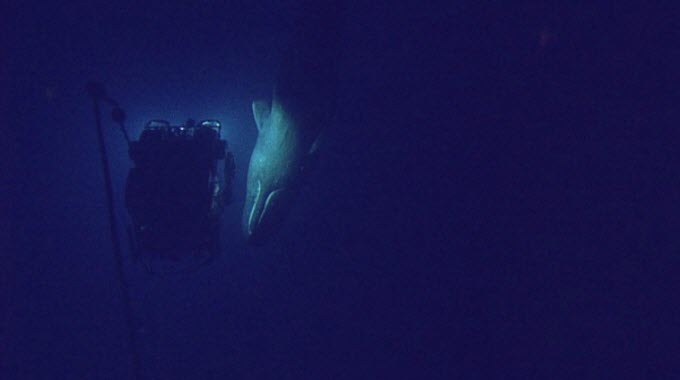 At 598 meters (1,962 ft) below the Gulf of Mexico off the coast of Louisiana, ROV Hercules encountered a magnificent sperm whale. The whale circled Hercules several times and gave our cameras the chance to capture some incredible footage of this beautiful creature. Encounters between sperm whales and ROV's are quite rare. (Photo: Ocean Exploration Trust)