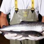 Health Alert: Wild Caught Salmon Found To Contain Cocaine, Antidepressants, And Pain Relievers