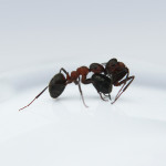 Ants Carry Other Live Ones as Means of Transportation: Further Evidence That They Must Be Communicating [Videos]