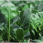 Popeye's Favourite Food : Spinach is a Nutrition Miracle