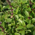 Your Herbal Super Power Solution for Stress: Top 3 Reasons You Should Take Holy Basil