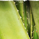 A Super Easy Way to Reap the Benefits of the Healing Aloe Plant