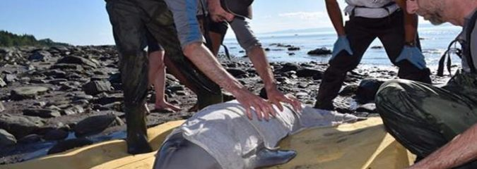Kids Rescue Newborn Beluga Whale With Quick-Thinking