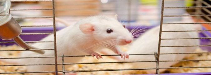 "Are Mice Empathic? New Study Shows They Respond to Pain ""Transferred Socially"""