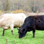 Beef Industry Rife with Corruption, But New Grassfed Dairy Standard May Help (Be Informed)
