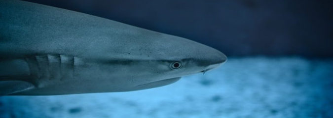Sharks Have Been Discovered Living Inside An Active Volcano [Watch]